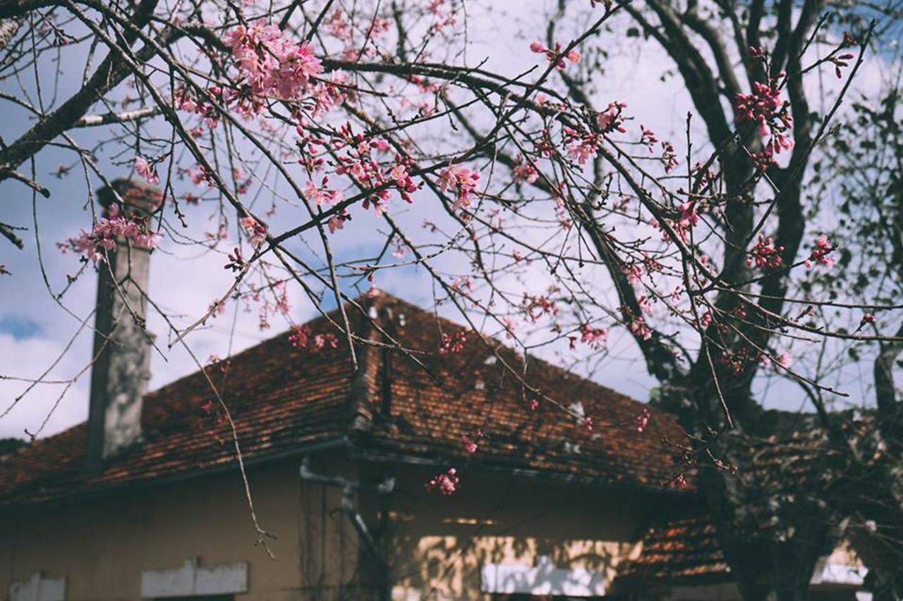 Những mùa hoa Đà Lạt đẹp xao xuyến lòng người - ảnh 1