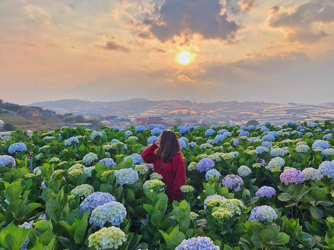 Khám phá vườn cẩm tú cầu đẹp tựa tranh tại thành phố ngàn hoa - ảnh 1